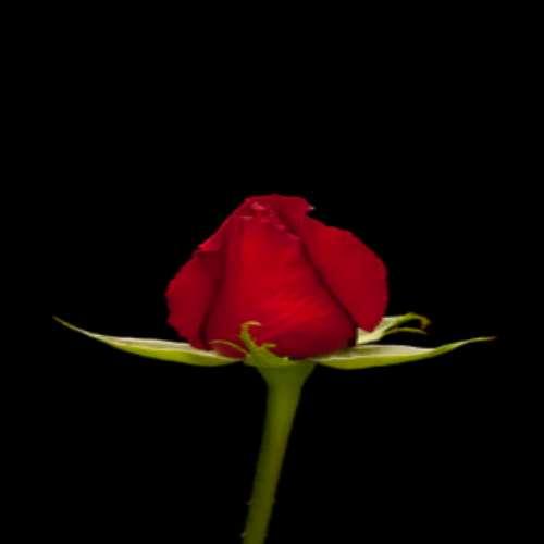 سیاه عکس گل رز قرمز مخملی