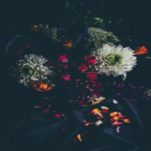رز قرمز پروفایل گل سیاه