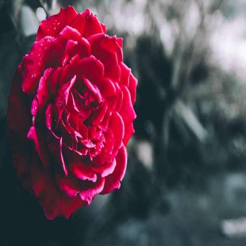 گل رز قرمز با زمینه مشکی