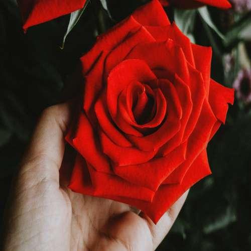 گل رز مشکی با حاشیه قرمز