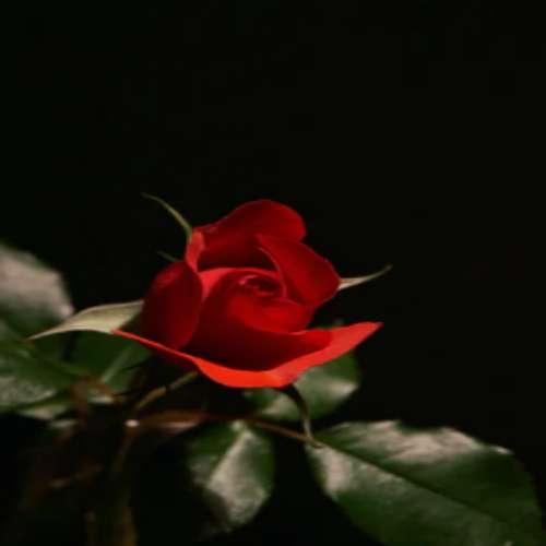 رز قرمز عکس گل سیاه