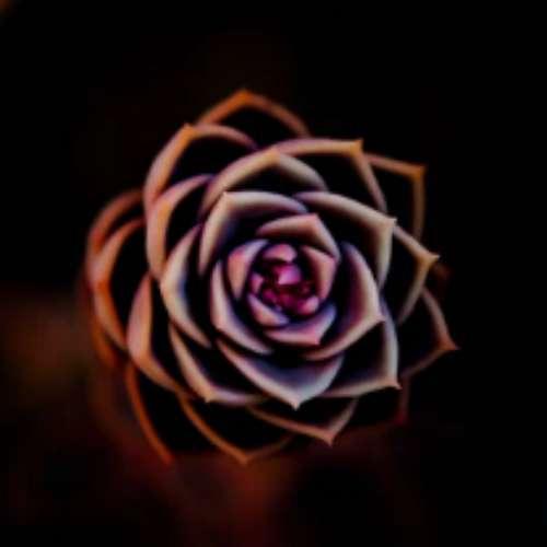 گل رز مشکی